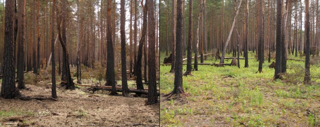 boreal_pine_forest_after_fire